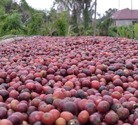 cara menanam kopi robusta