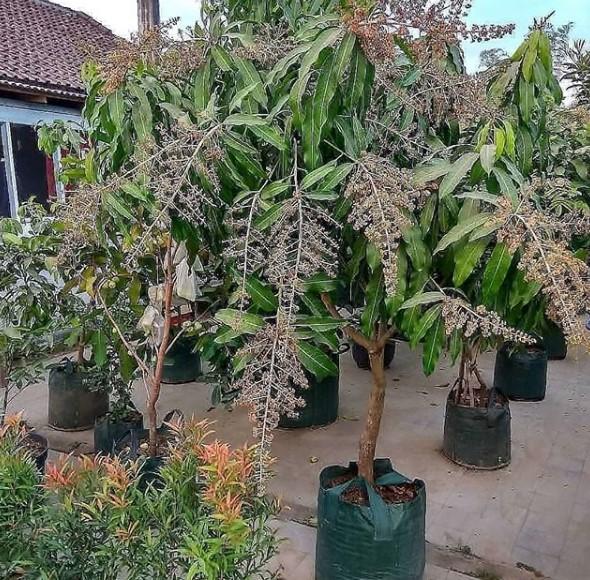 cara merawat tanaman mangga