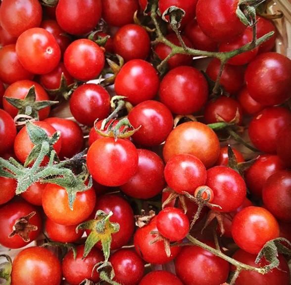 tomat siap di panen