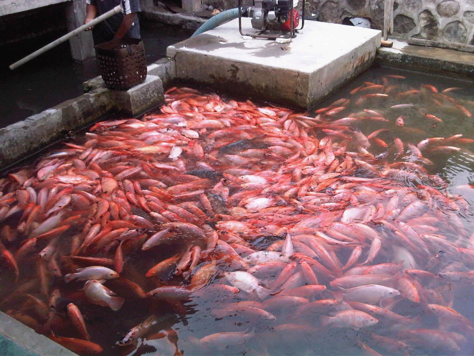 Budidaya Ikan Nila Merah