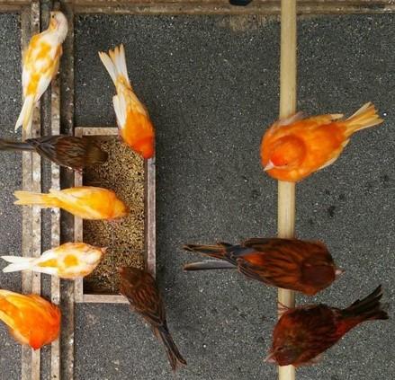 tips merawat burung kenari